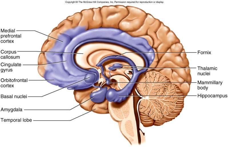 Image Result For Cingulate Gyrus Brain Pinterest Brain