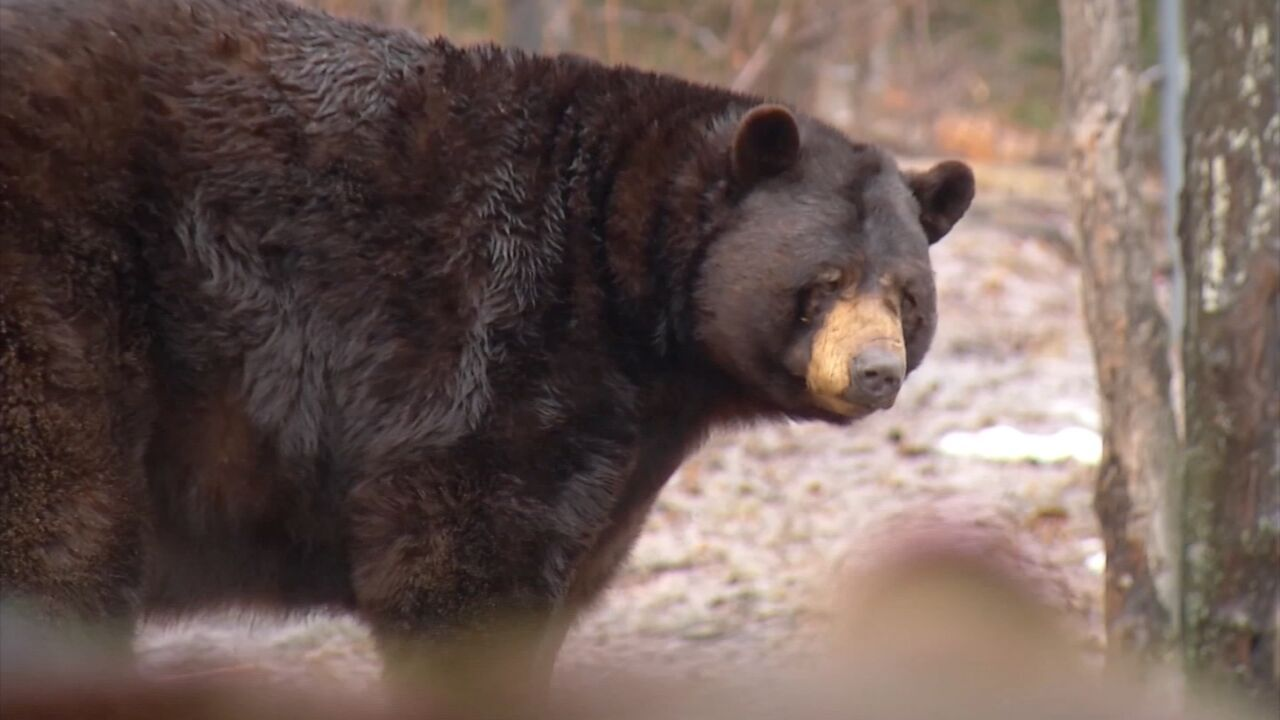 Mother Black Bears Equipped With Radio Collars To Find Orphan Cubs New Homes Black Bear Bear Northern Michigan