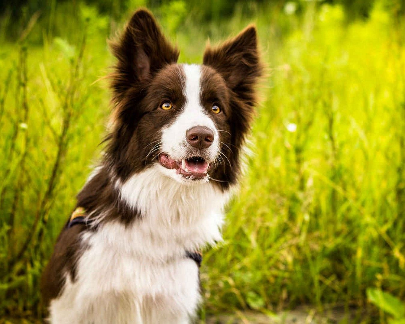 Border Collie Wallpapers Hd Collie Border Collie
