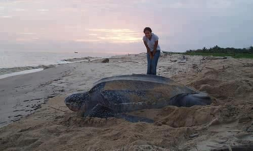 Leather sea turtle - largest of all living turtles. :Tortugas de cuero marinas - más grandes de todas las tortugas de la vida. :