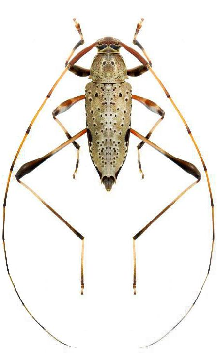 Anisopodus phalangodes