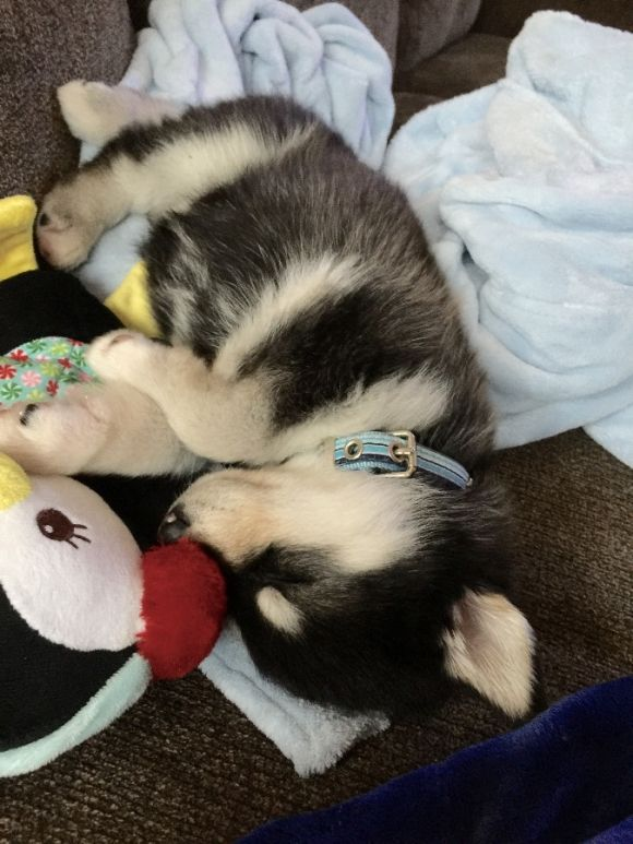 Adorable Husky Puppy Is Sleeping Puppies Husky Puppy Cute