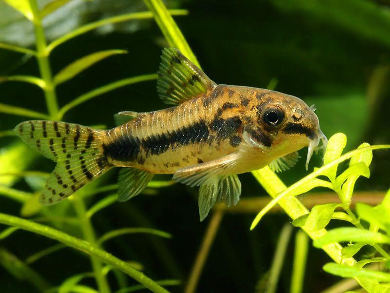 Corydoras Ambiacus Corydoras Grafi Corydoras Longirostris Aquarium Fish Tropical Fish Freshwater Aquarium Fish