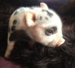 Mini Micro Teacup Pig Cute Animals Baby Animals Cute Piggies