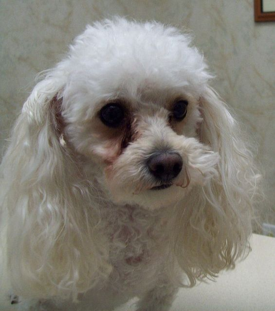 White Toy Poodle White Toy Poodle Poodle Types Of Dogs