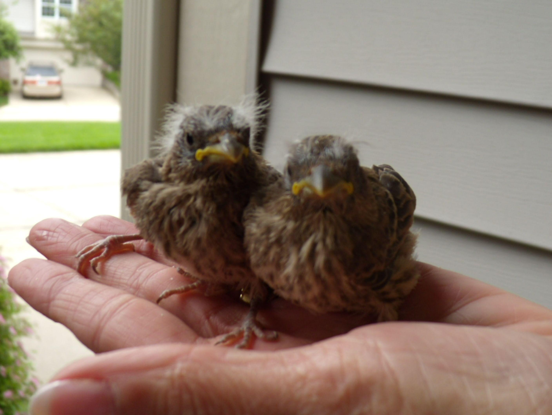 Helping Momma Bird To Raise Her Purple Finch Babies Ddf