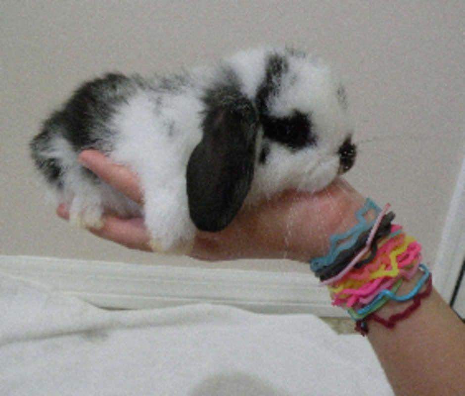 dwarf bunny for sale - Google Search