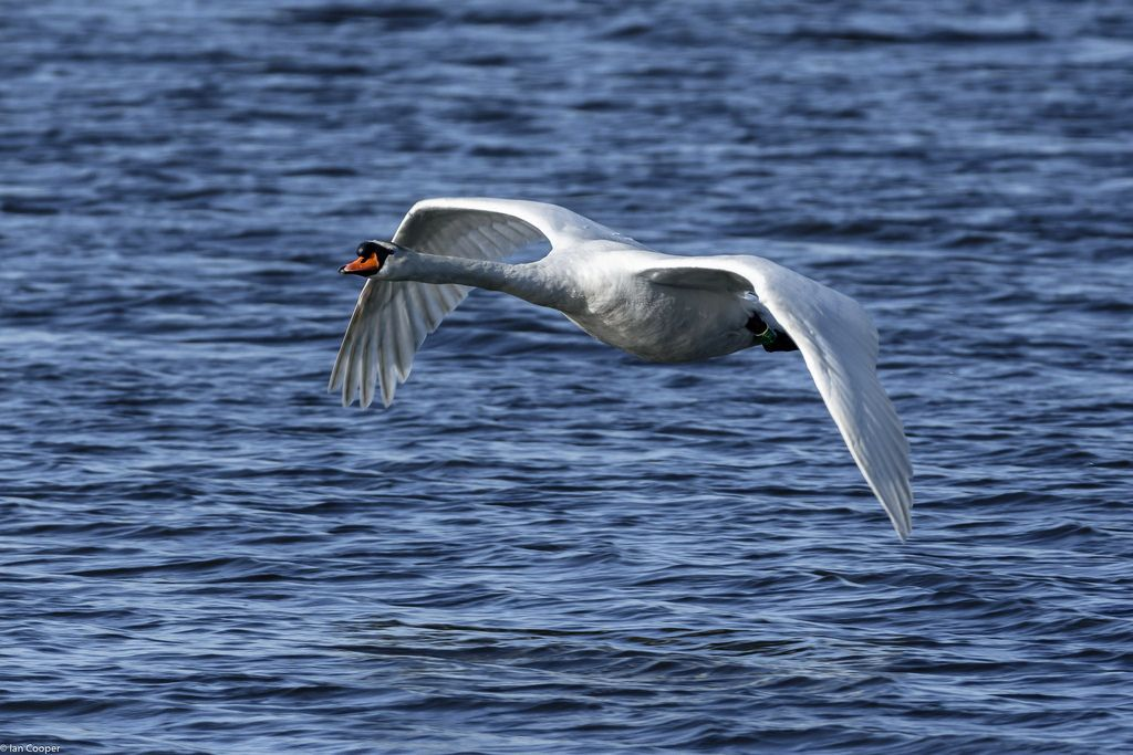 iancooper6 posted a photo:  Swan in flight