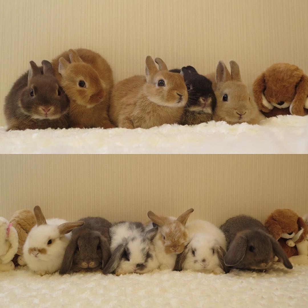 可愛いベビーちゃん デビューですよー うさぎ 九州うさぎclub ペット ショップ ネザーランドドワーフ ホーランドロップ 可愛い Rabbit Baby Cute