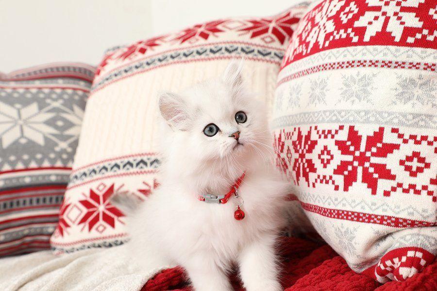 Persian Cat Gallery Persian Kittens Persian Cat Persian Kittens For Sale