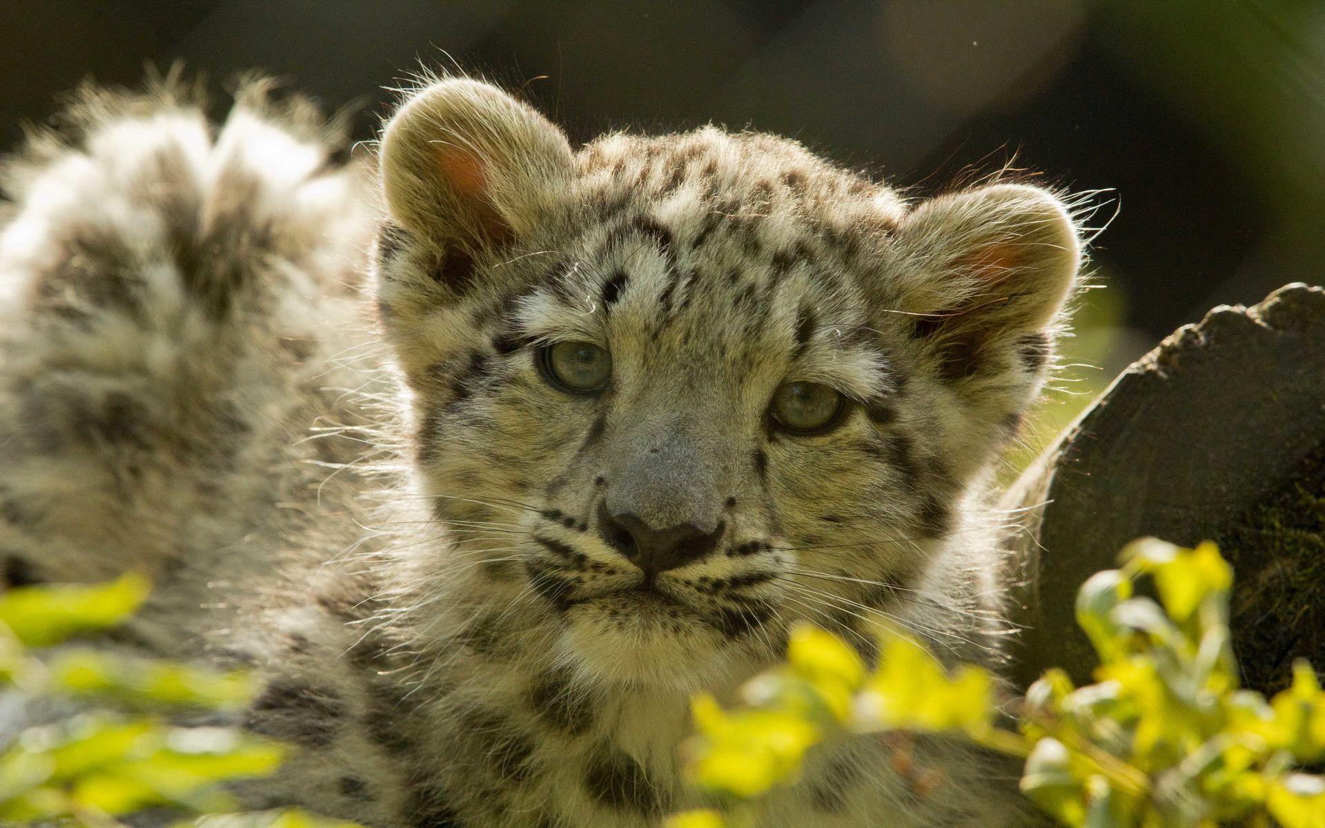 Cute Snow Leopard Cubs WallpaperComputer