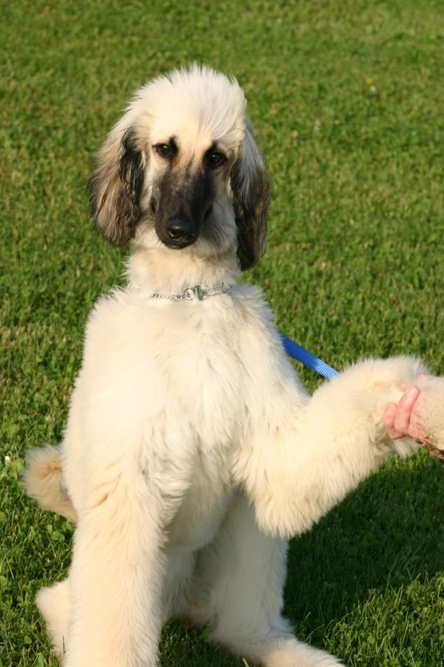 Cream With Black Mask Duchess Afghan Hound Puppy Goofy Dog