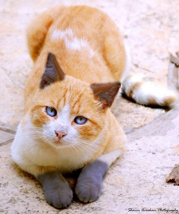 Foxbreeze Beautiful cats, Orange tabby cats, Warrior cats