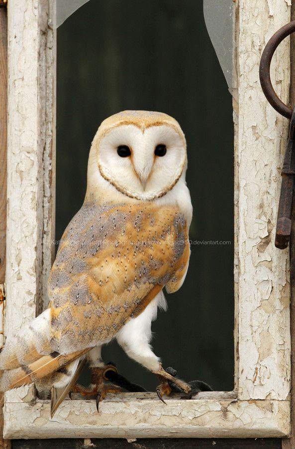 Barn Owl by Katherine Jeffery on 500px