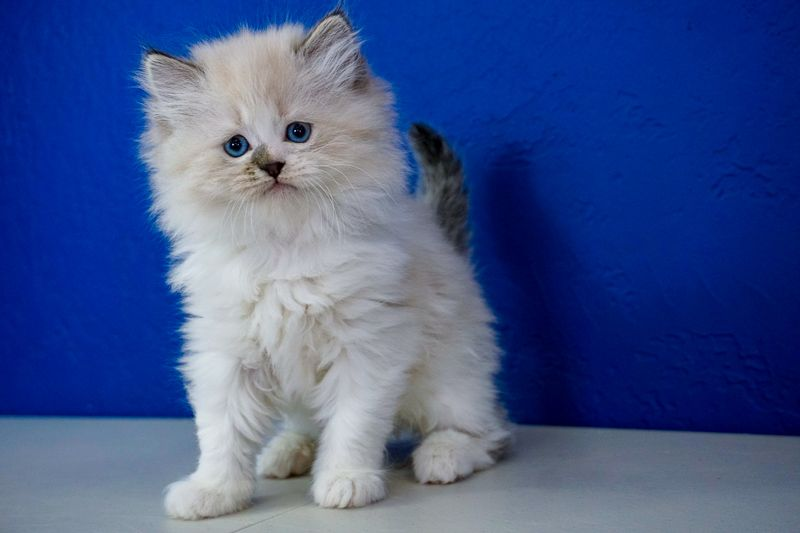 Ragdoll Kittens for Sale Near Me Buy Ragdoll Kitten