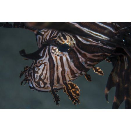 Close-up of a lionfish in Komodo National Park Indonesia Canvas Art - Ethan DanielsStocktrek Images (34 x 23)