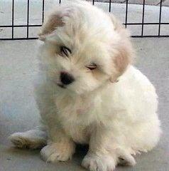 coton de tulear breeders coton de tulear puppies pups and dogs