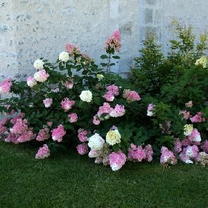 hydrangea paniculata vanille fraise 39 renhy 39 2 flowers. Black Bedroom Furniture Sets. Home Design Ideas