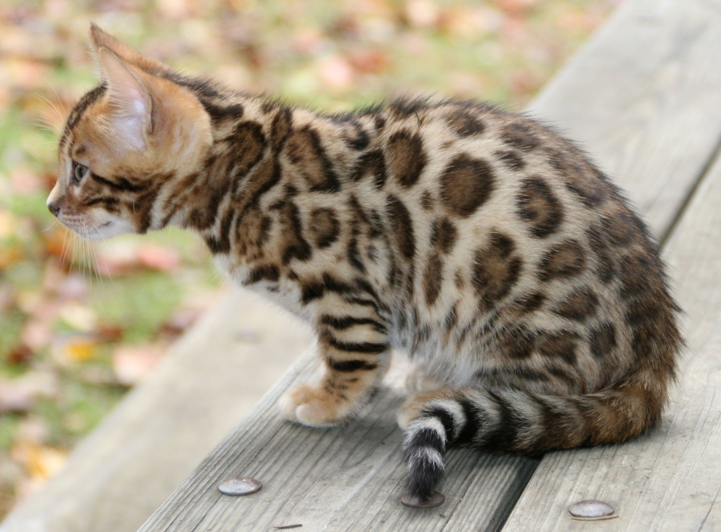 Bengal Cats For Adoption Texas