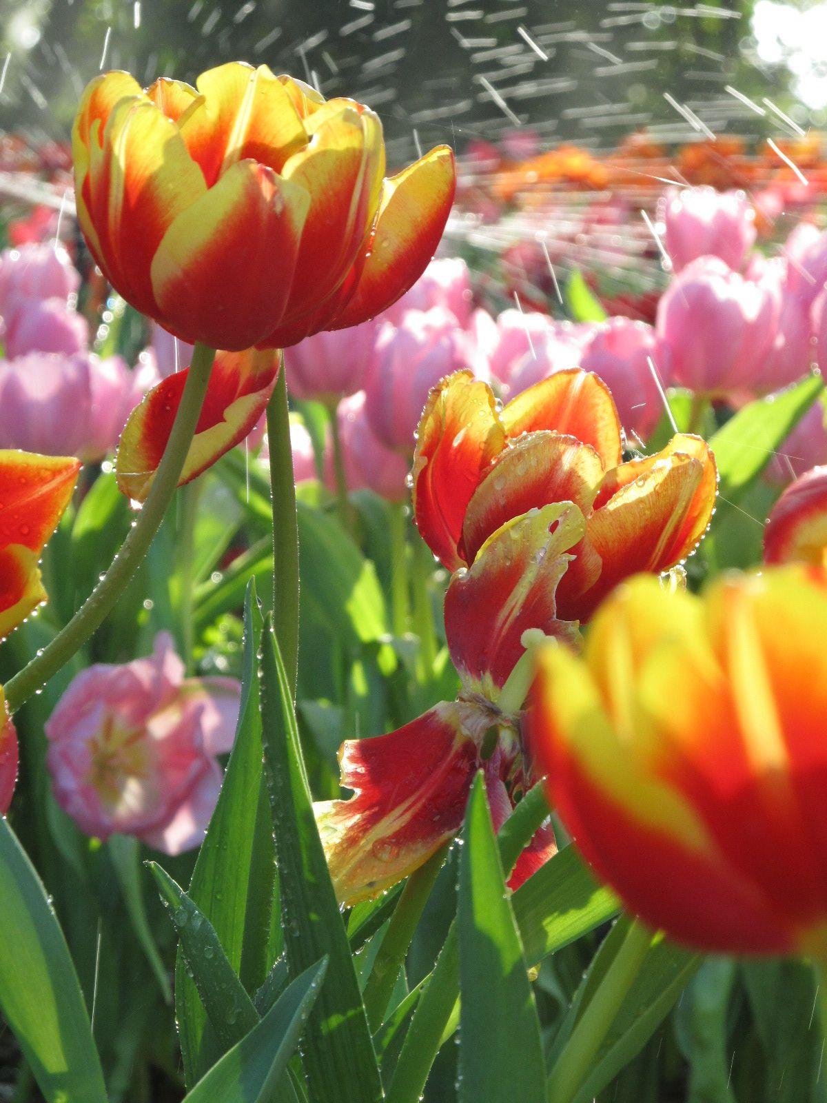 Flowers Similar To Tulips