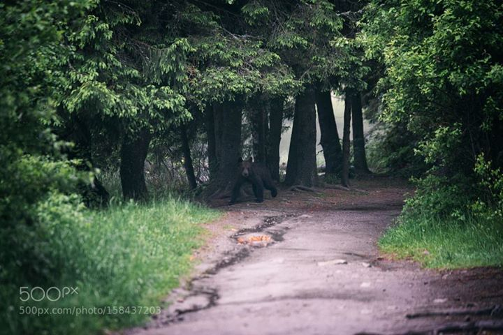 Bear Cub in wild Transylvania