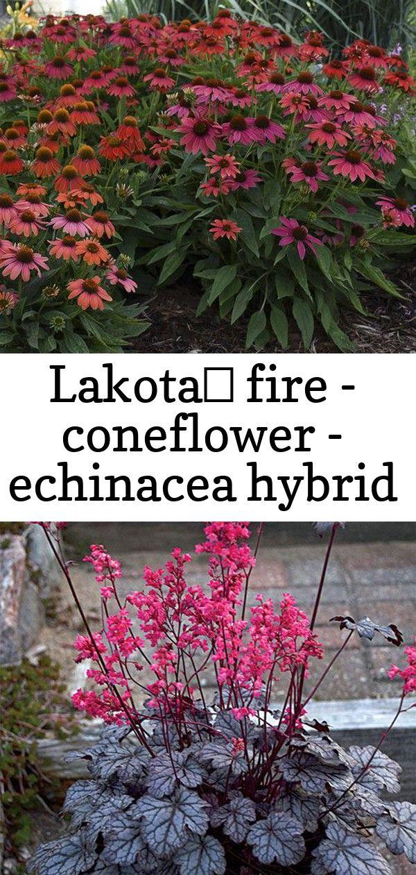 Lakota™ fire - coneflower - echinacea hybrid #smallcourtyardgardens