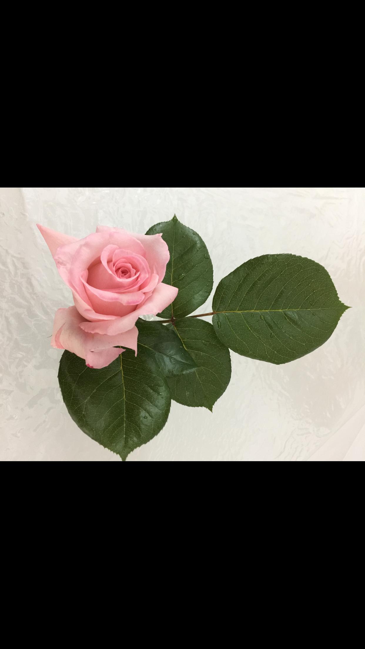 Pin By سهير كريشان On تنسيق الورود Rose Plants Flowers