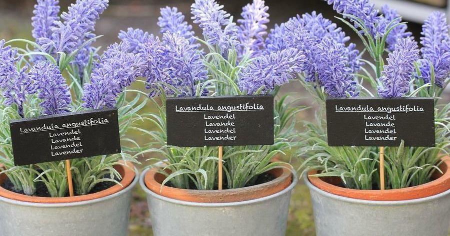 Como Plantar Lavanda En El Huerto Composteras Growing Lavender - Como-plantar-lavanda