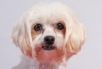 Petango Com Meet Soda A 7 Years 1 Month Maltese Available For Adoption In Colorado Springs Co Maltese Dog Adoption Adoption