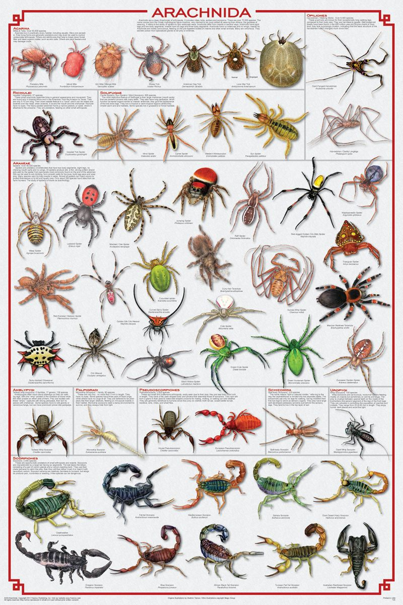 $16.24 AUD - Spiders Poster (61X91Cm) Educational Chart ...