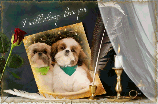 Nc Shih Tzu Breeder Shih Tzu Puppies For Sale Shih Tzu Adoption Shih Tzu Breeders Shih Tzu Puppy Shih Tzu