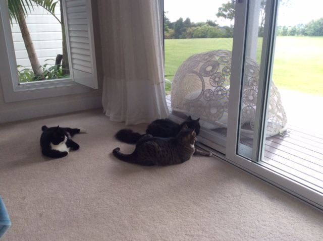 Three Aussie kitties enjoying the afternoon fresh air.