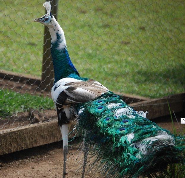 spalding peafowl