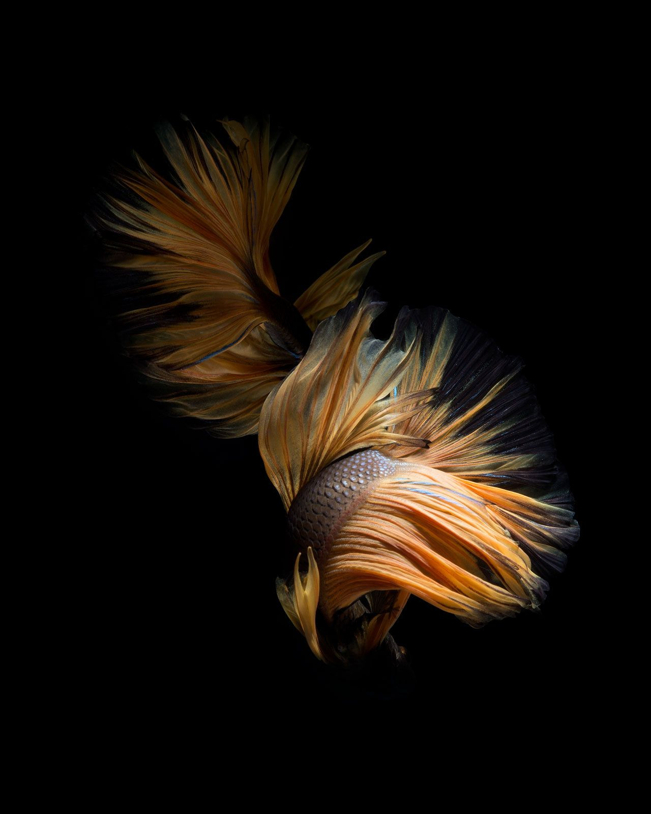 Wallpaper iphone cupang - Chiaroscuro Capture The Moving Moment Of Brown Yellow Siamese Fighting Fish Isolated On Black