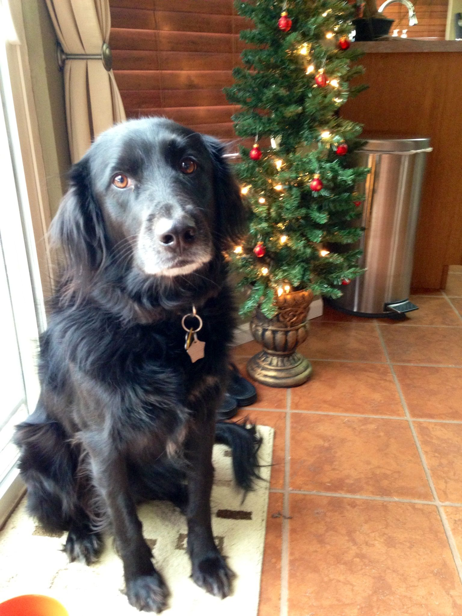 flat coated retriever Puppies black and white with red colour ...
