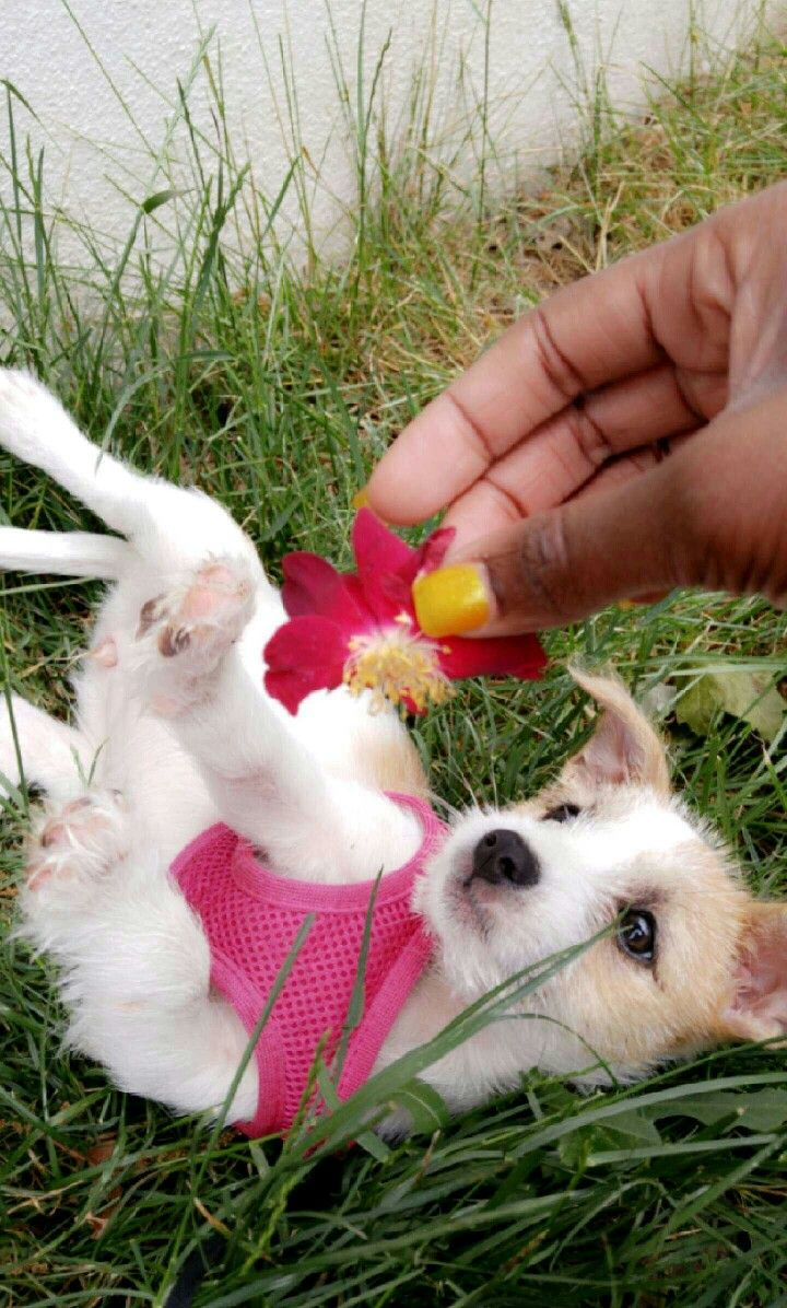 Jack Russell Terrier Pup Named Diamond Jack Russell Terrier Jack Russell Terrier Puppies Jack Russell