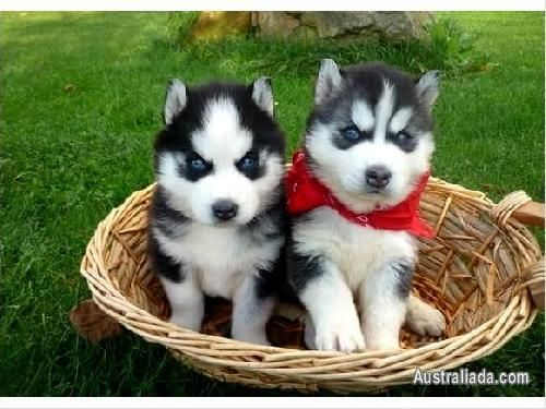 Pin By Australiada On Puppies Siberian Husky Puppies Husky