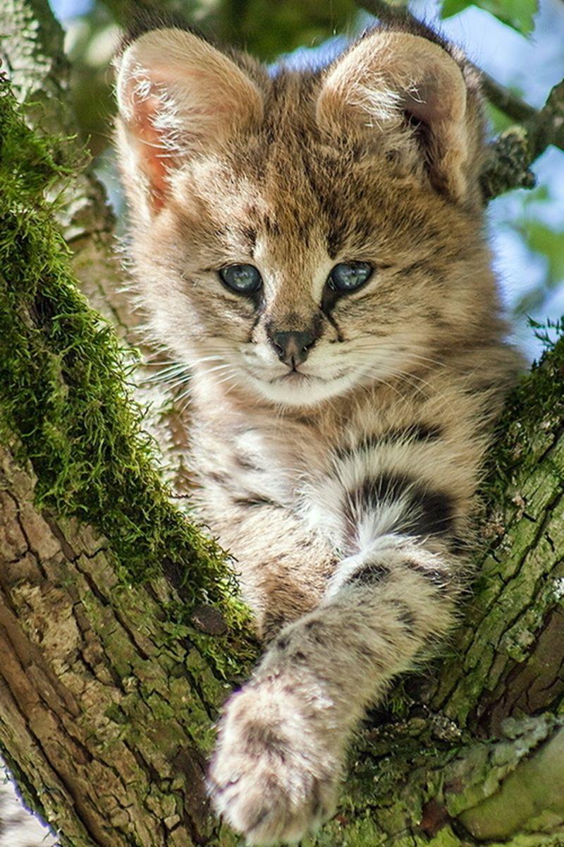 Serval Kitten Aachener Tierpark, Aachen, Germany (via