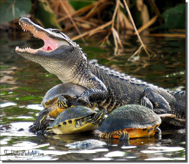 8d3580696b2b6a49c9a32d5c7a2e374f strange companions alligators, turtle and reptiles