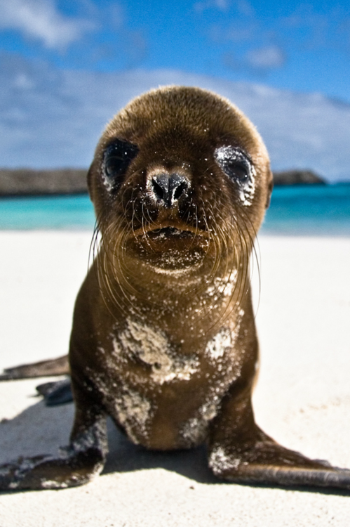 Galapagos Pup by Brian Fisher