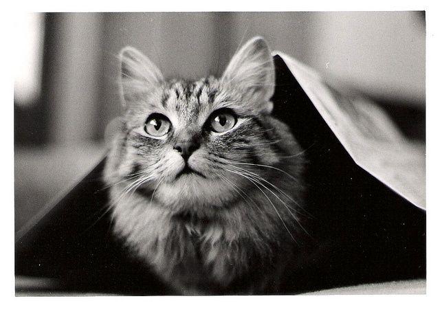 Maine Coon #cat - Jazzi