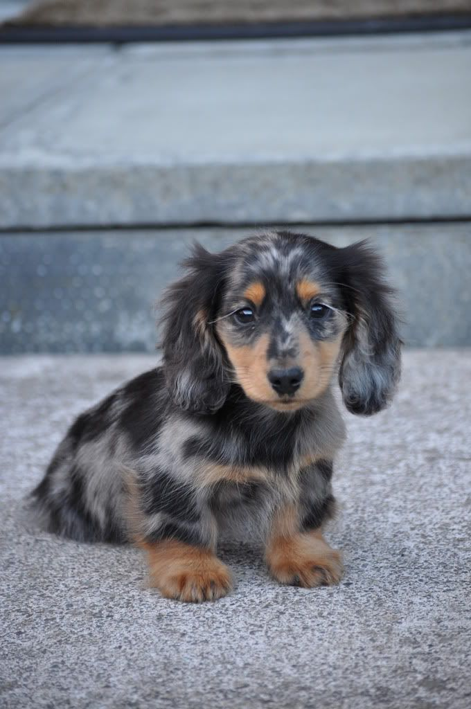 Dachshund Friendly And Curious Dapple Dachshund Puppies
