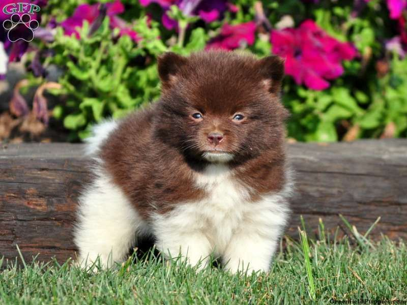 Heath greenfield puppies pomeranian puppy for sale