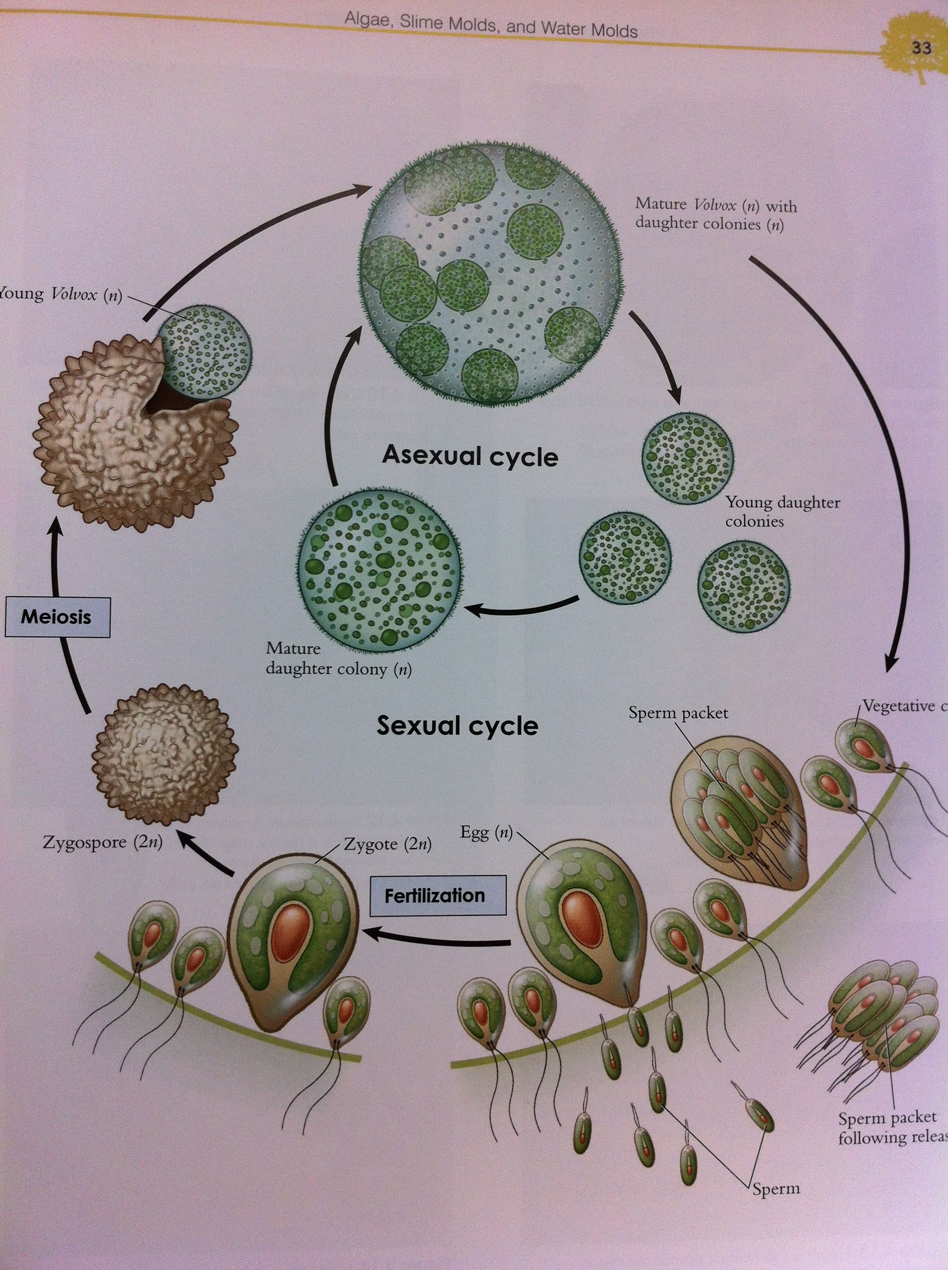 hight resolution of volvox green algae reproduction cycle