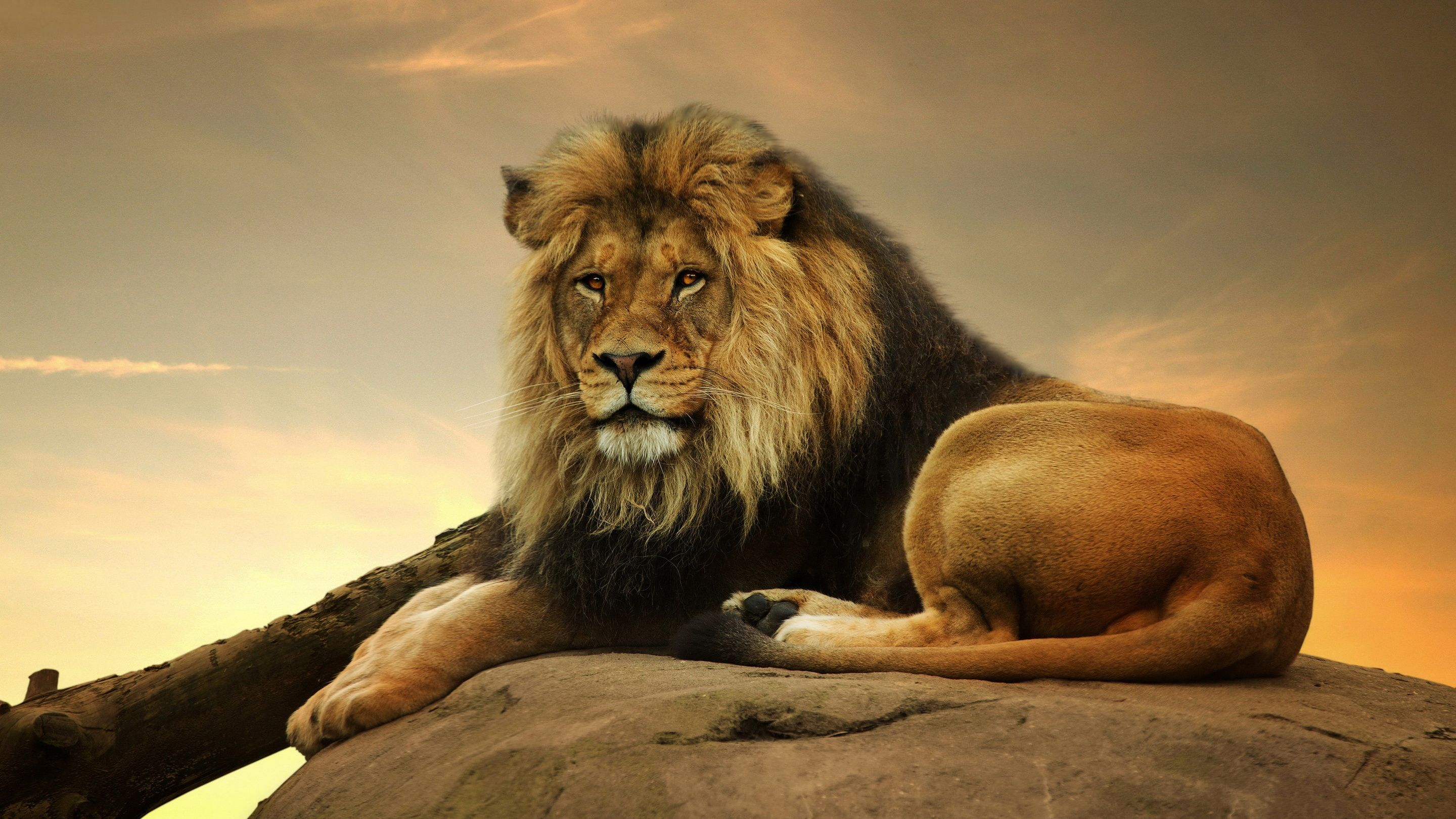 What S The Mars In Leo Personality Like Lion Painting Male Lion Lion Pictures