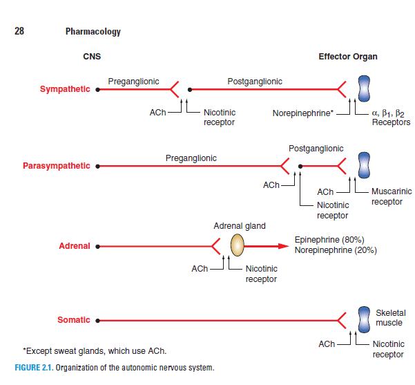 Organization Of The Autonomic Nervous System Autonomic Nervous System Pharmacology Medical School Organization Autonomic Nervous System