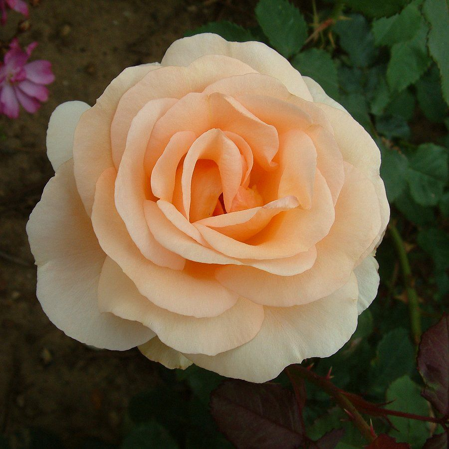The Churchill Rose Rose: Modern Shrubs; 2011, repeat flowering, some scent, tolerate small amount of shade, quite thorny, attracts bees. Can be grown in a pot.