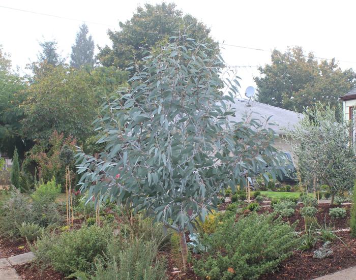 Eucalyptus Debuezevillei Eucalyptus Pauciflora Ssp 400 x 300