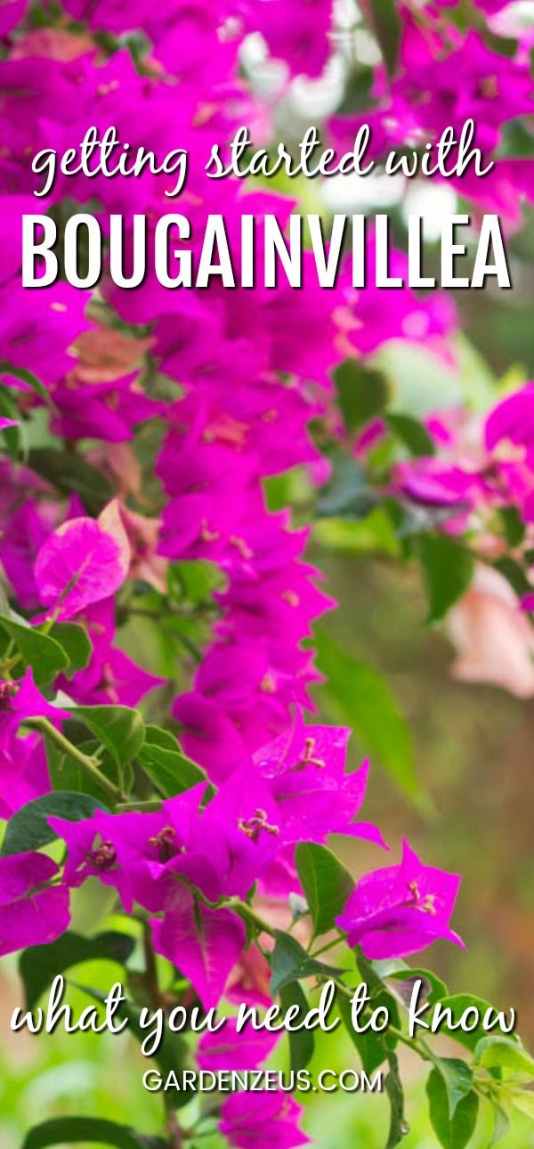 Getting started with Bougainvillea: What you need to know #bougainvillea #Mediterranean #drought-tolerant #garden