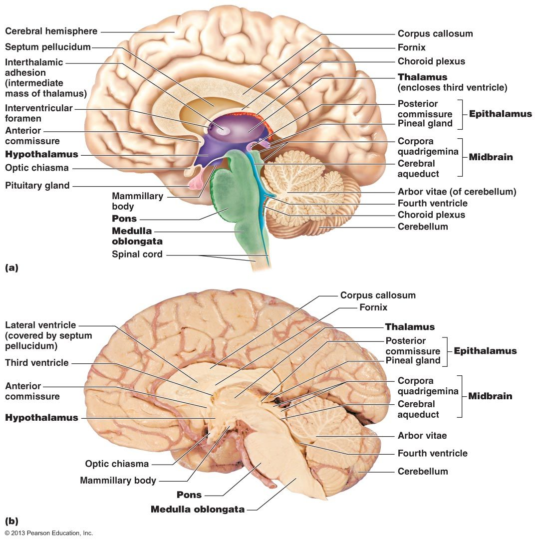 Brain Midsagittal Section